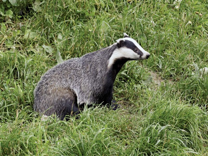 Image of Badger  from Woolmer Forests Natural History