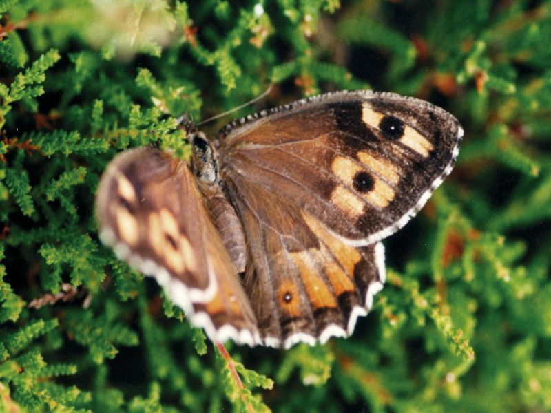 Image of GraylingButterfly  from Woolmer Forests Natural History