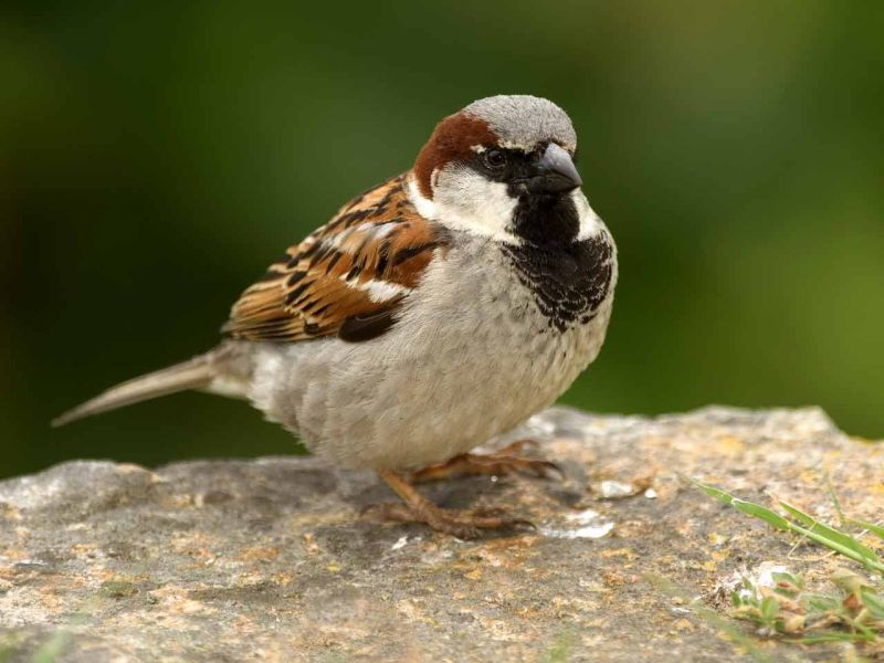 Image of HouseSparrow  from Woolmer Forests Natural History
