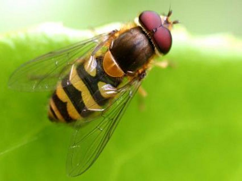 Image of Hoverfly  from Woolmer Forests Natural History