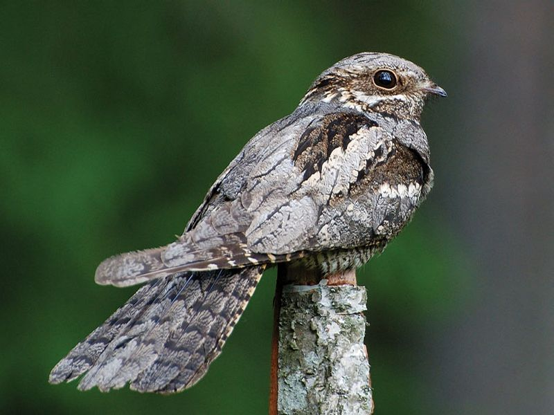 Image of Nightjar  from Woolmer Forests Natural History