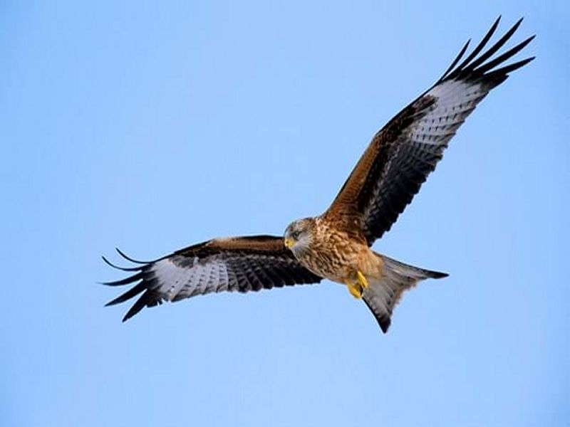 Image of RedKite from Woolmer Forests Natural History
