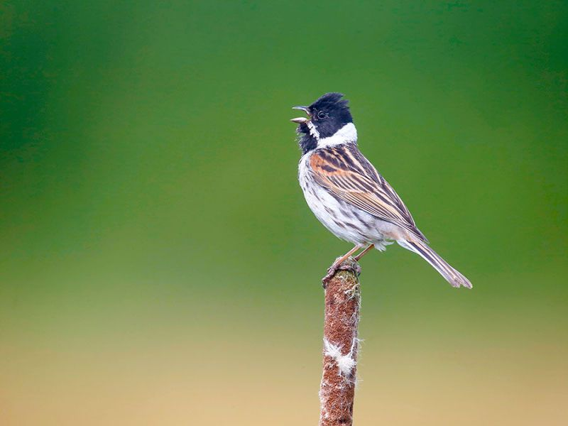 Image of ReedBunting from Woolmer Forests Natural History