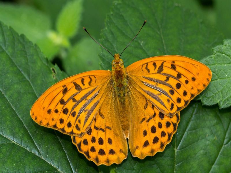 Image of Silver-washedFritillary  from Woolmer Forests Natural History