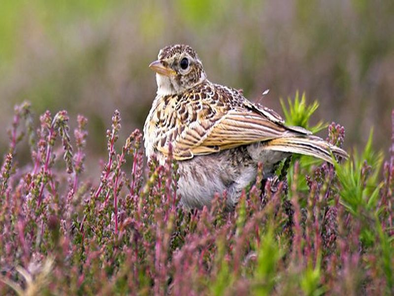 Image of Skylark  from Woolmer Forests Natural History
