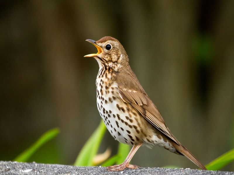 Image of SongThrush  from Woolmer Forests Natural History