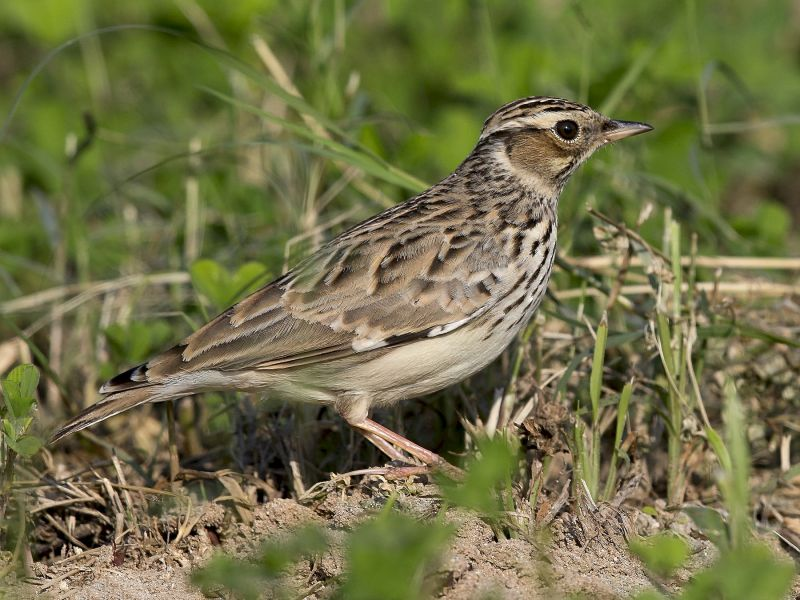 Image of Woodlark from Woolmer Forests Natural History